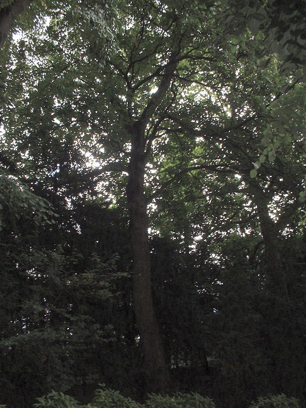 Erable sycomore – Ixelles, Allée H.Demarque, Chaussée de Boondael –  30 Juillet 2003