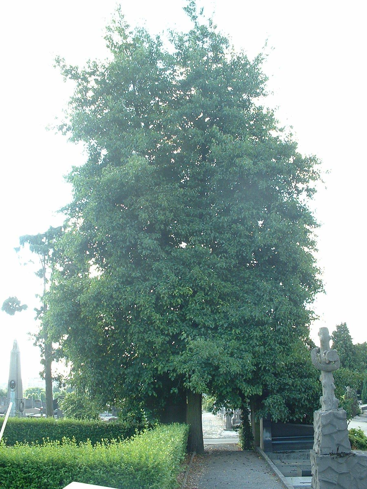 Aulne à feuilles cordées – Ixelles, Cimetière d'Ixelles, Avenue de l'Université –  31 Juillet 2003