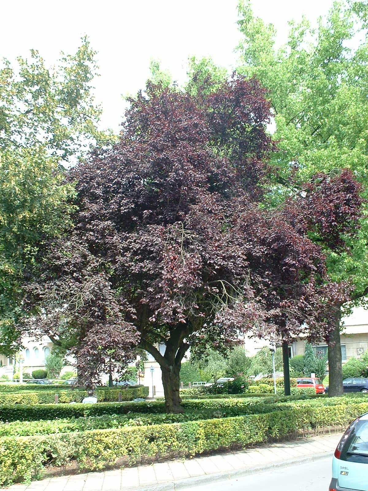 Prunus cerasifera f. atropurpurea – Ixelles, Place Marie-José –  31 Juillet 2003