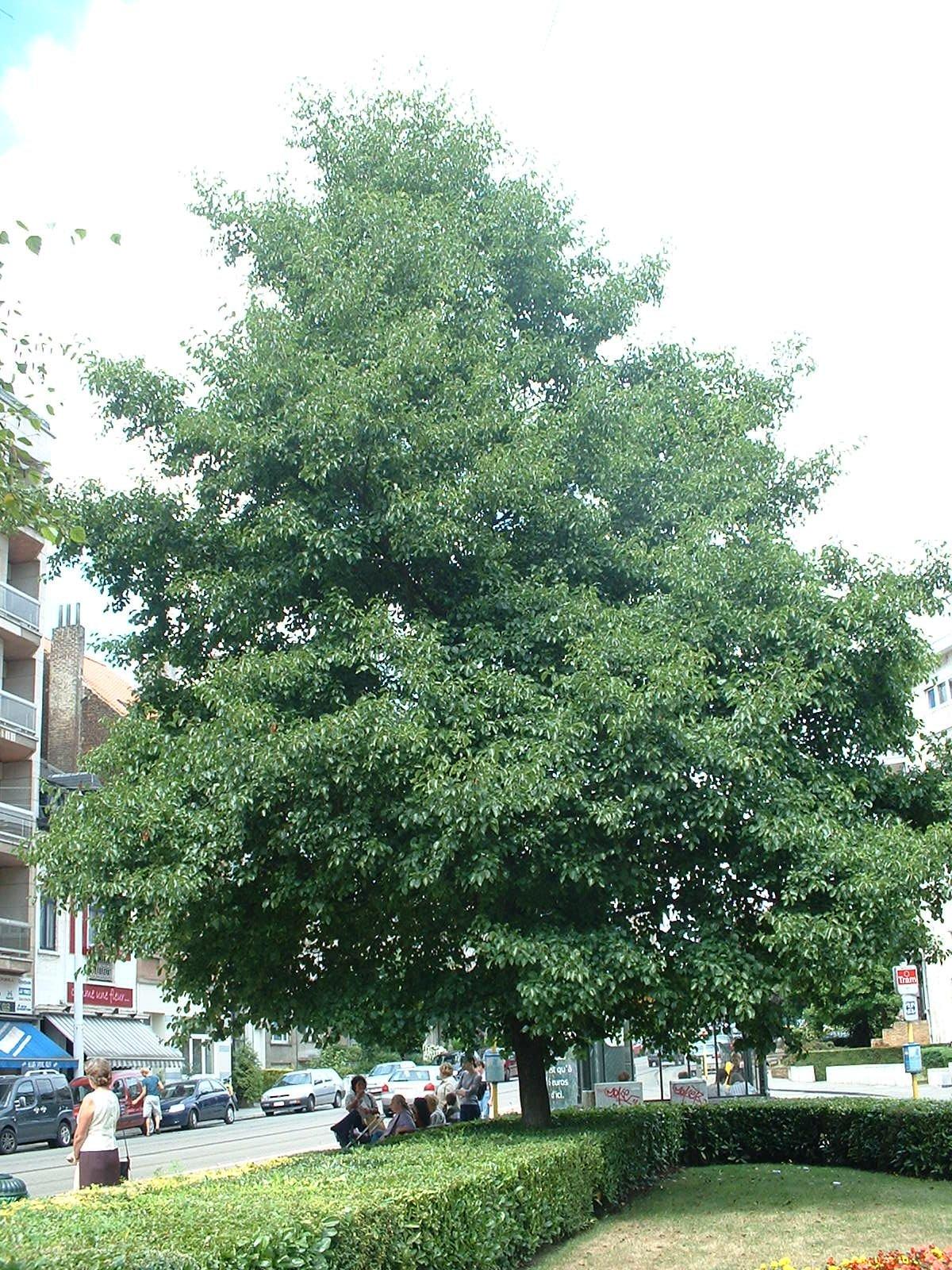Aulne à feuilles cordées – Ixelles, Place Marie-José –  31 Juillet 2003