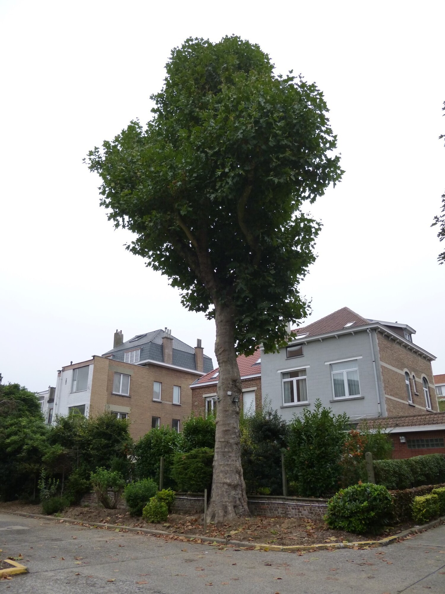 Platane à feuille d'érable – Berchem-Sainte-Agathe, Avenue du Roi Albert, 88 –  11 Octobre 2013