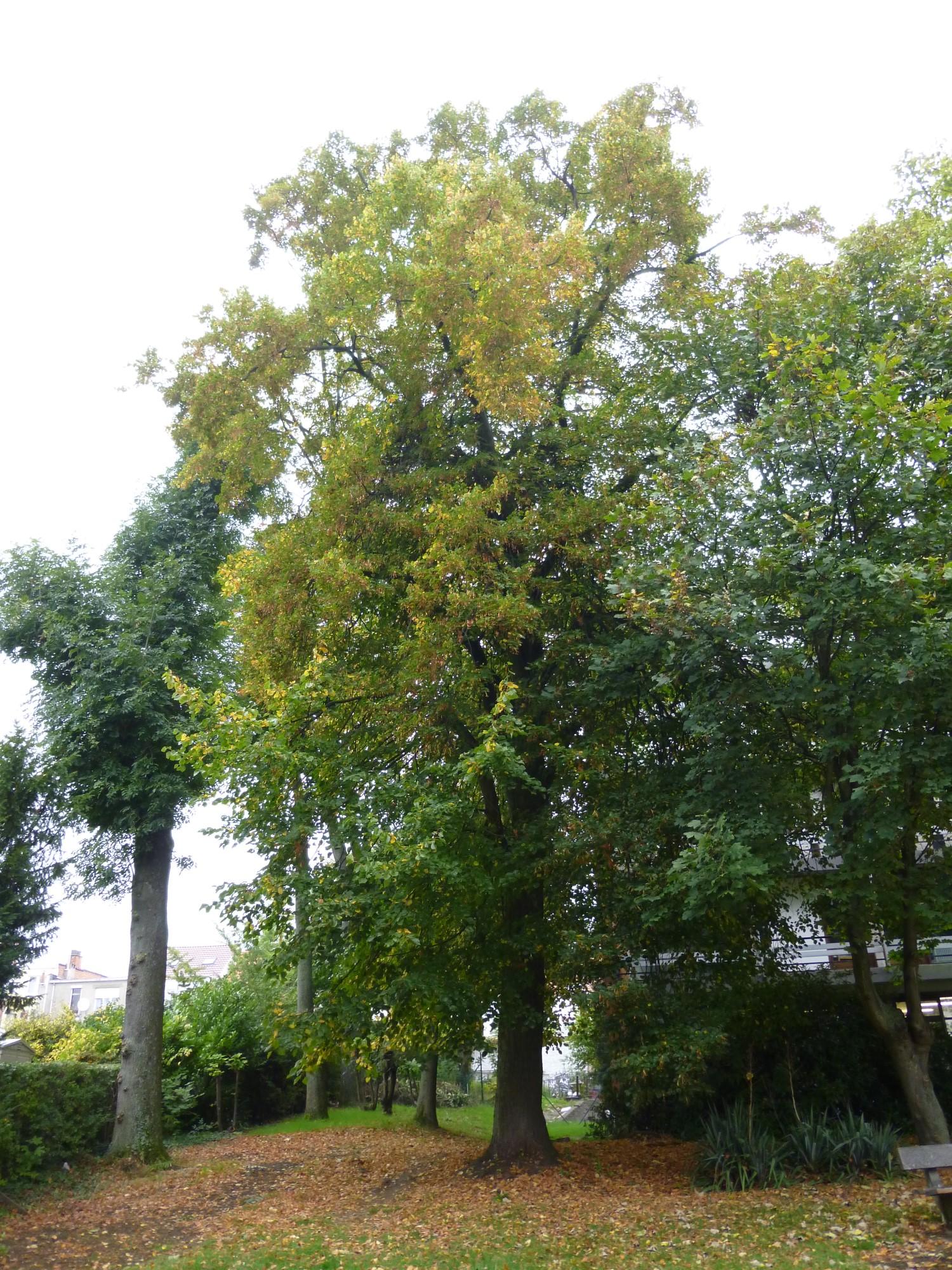 Tilleul du Caucase – Berchem-Sainte-Agathe, Avenue du Roi Albert, 88 –  11 Octobre 2013