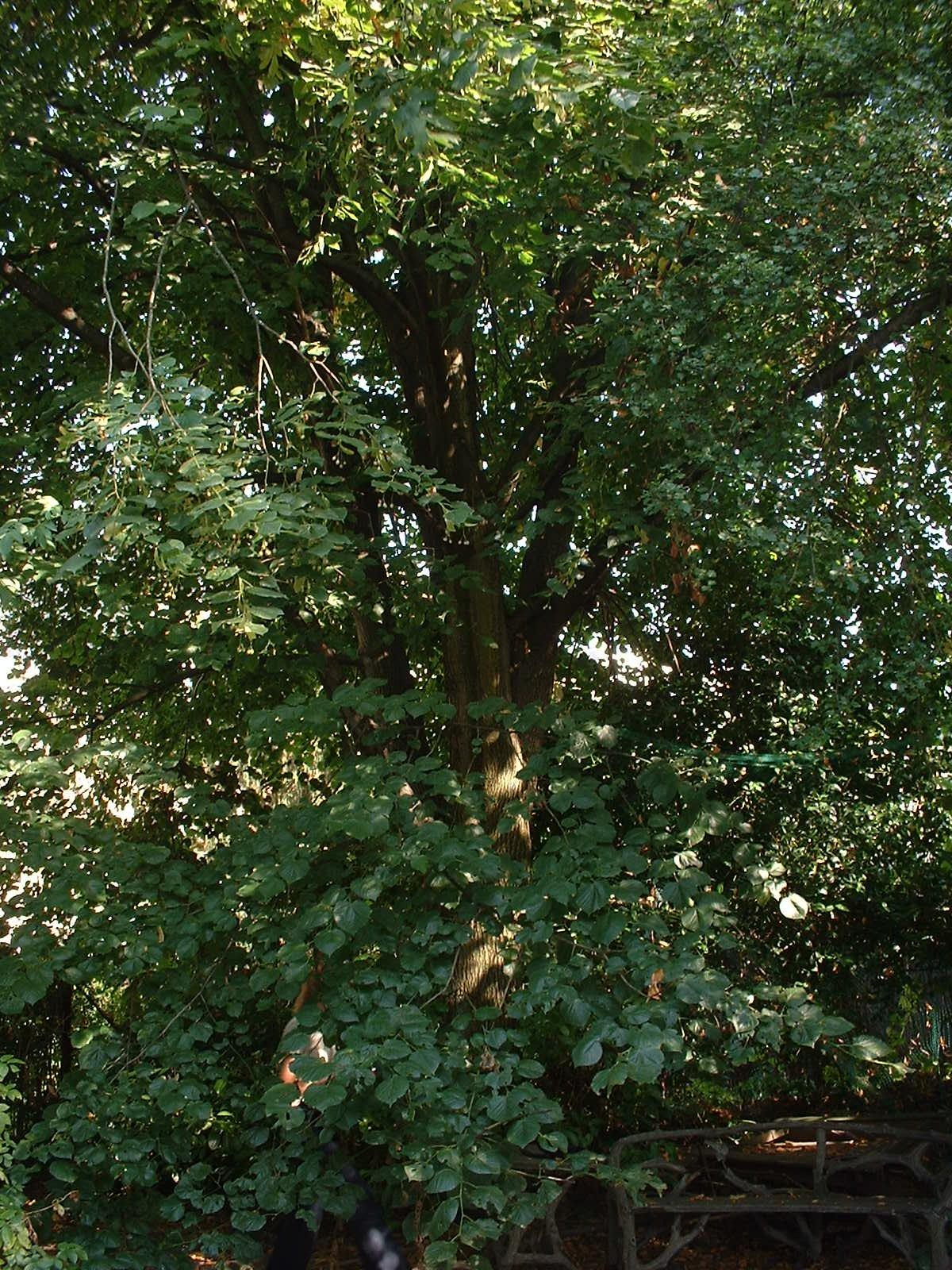 Tilleul à larges feuilles – Schaerbeek, Rue des Pensées, 22 –  05 Août 2003