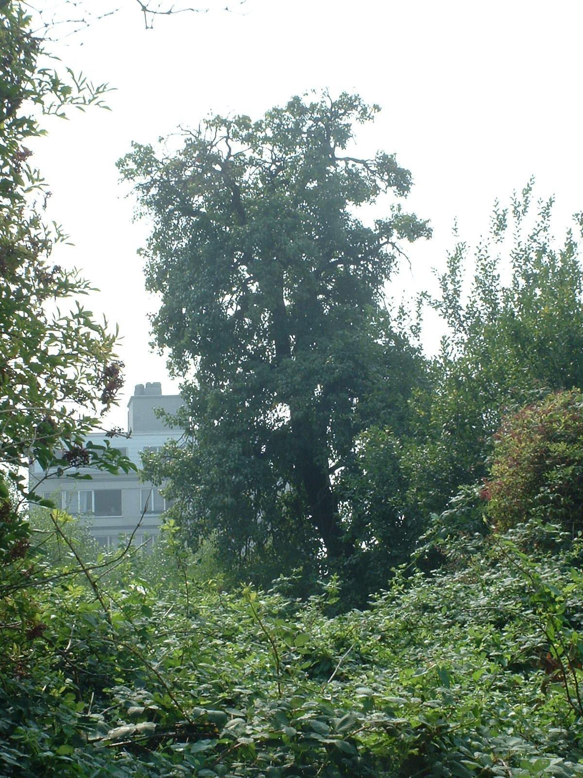 Poirier cultivé – Berchem-Sainte-Agathe, Rue des Combattants –  08 Août 2003