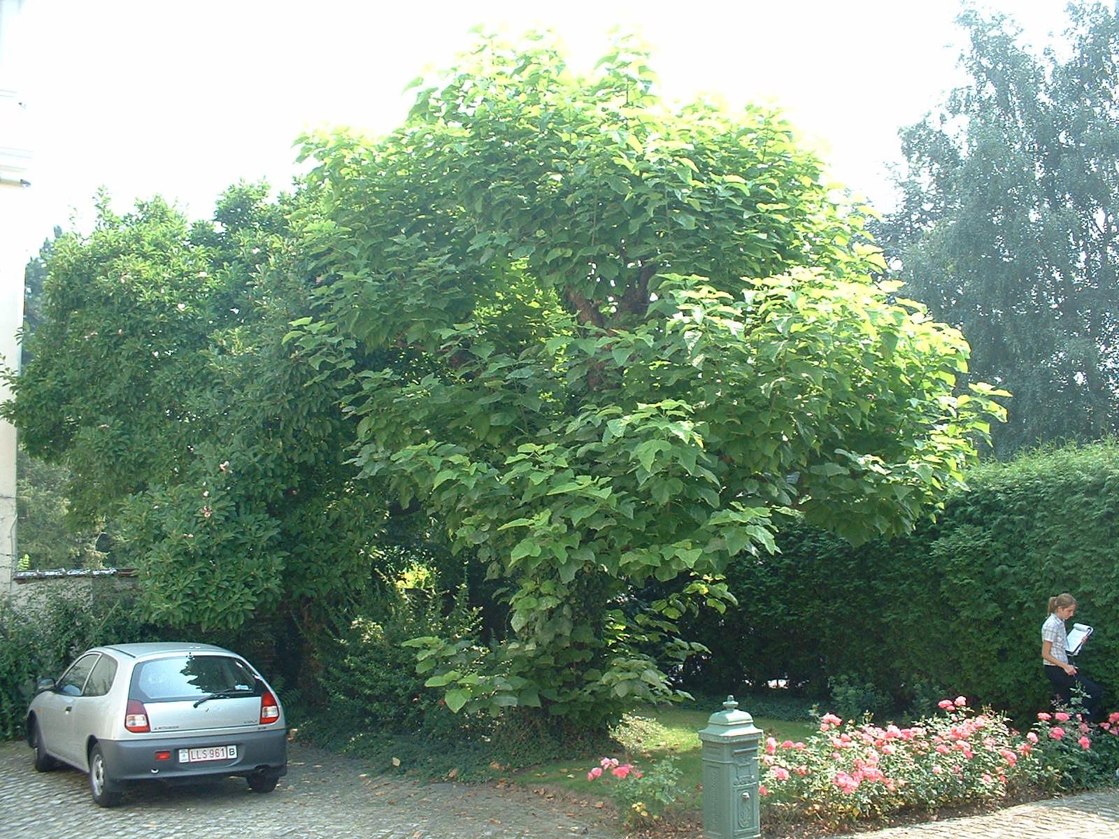 Catalpa commun – Berchem-Sainte-Agathe, Rue Openveld, 90-92 –  08 Août 2003