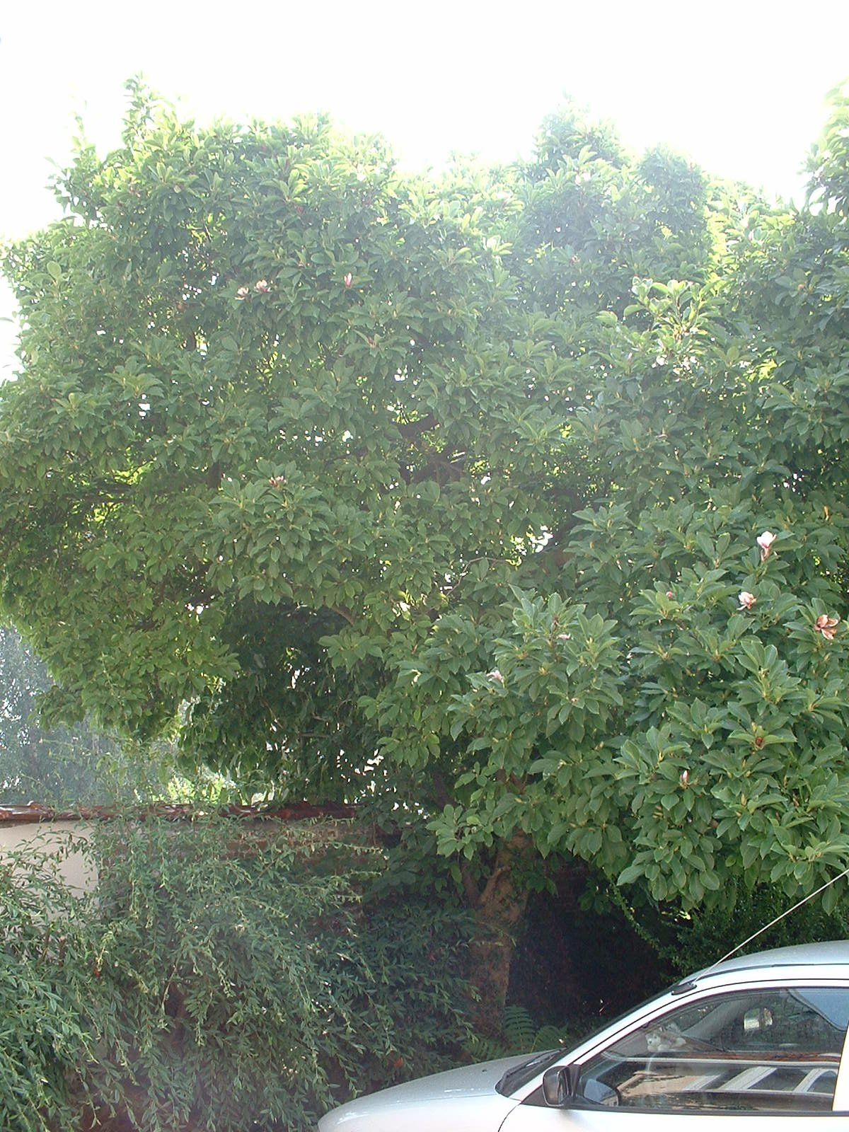 Magnolia sp – St.- Agatha - Berchem, Openveldstraat, 90-92 –  08 August 2003