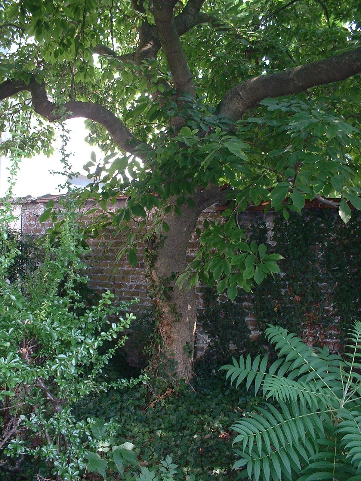 Magnolia sp,