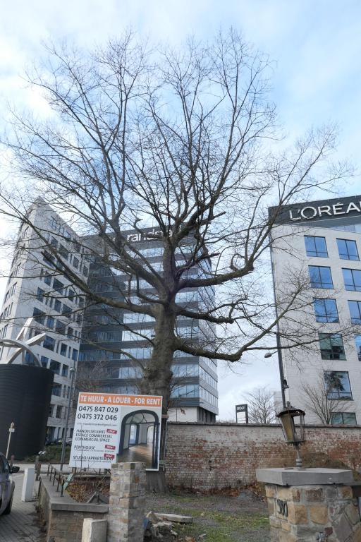 Chêne rouge d'Amérique – Berchem-Sainte-Agathe, Avenue Charles-Quint, 580 –  12 Décembre 2019