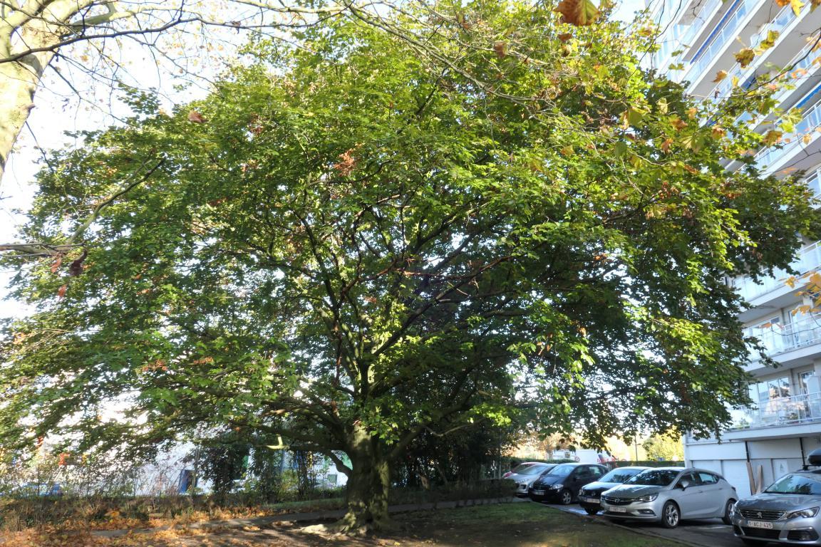Hêtre pourpre – Berchem-Sainte-Agathe, Parc Jean Monnet, Rue des Châlets –  08 Novembre 2019