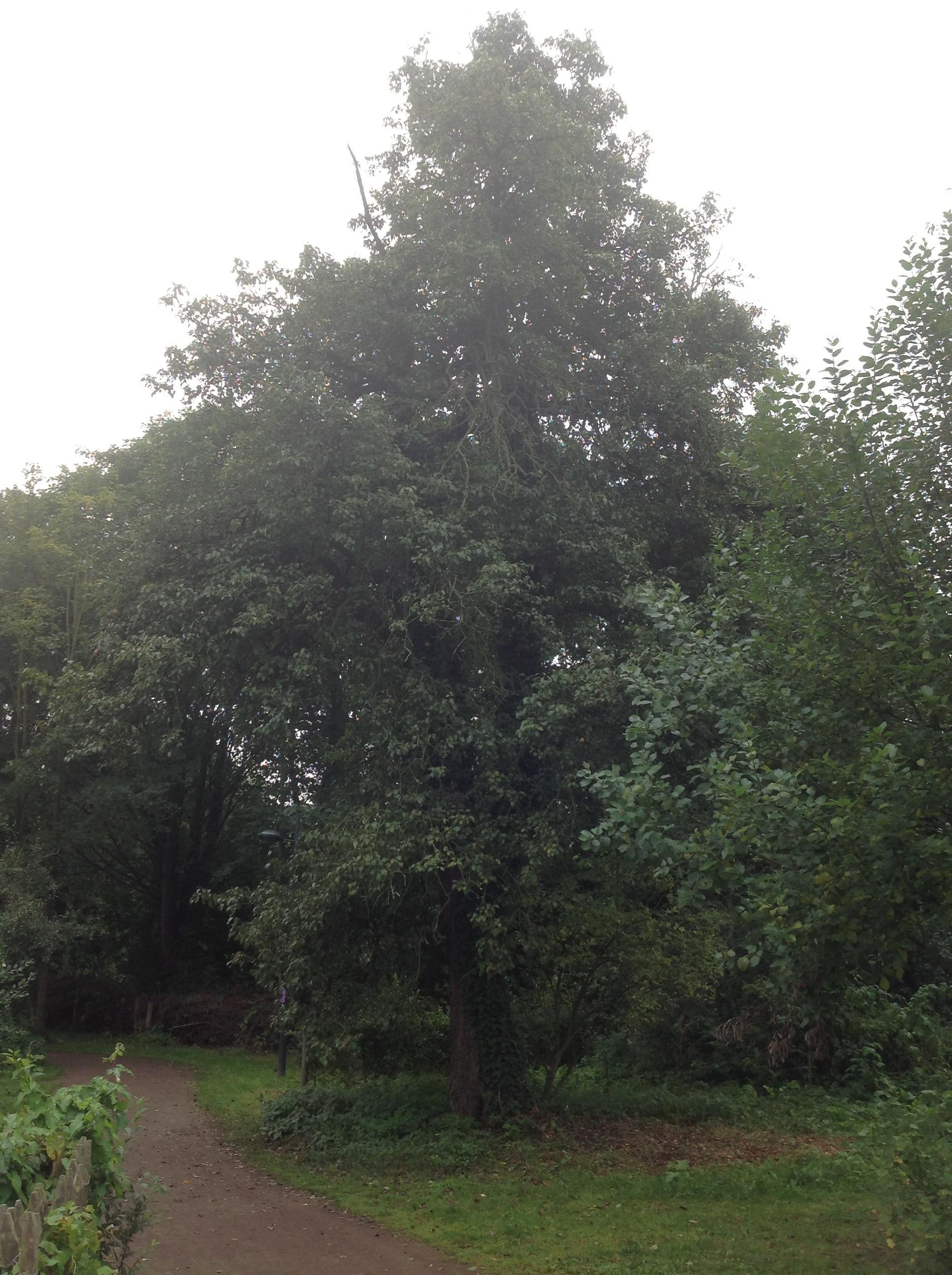 Poirier cultivé – Berchem-Sainte-Agathe, Rue de Dilbeek –  19 Septembre 2013
