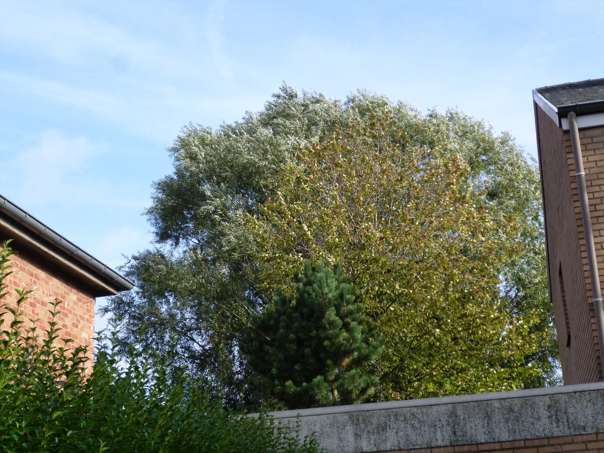Saule blanc – Berchem-Sainte-Agathe, Avenue du Cognassier, 60 –  04 Octobre 2013