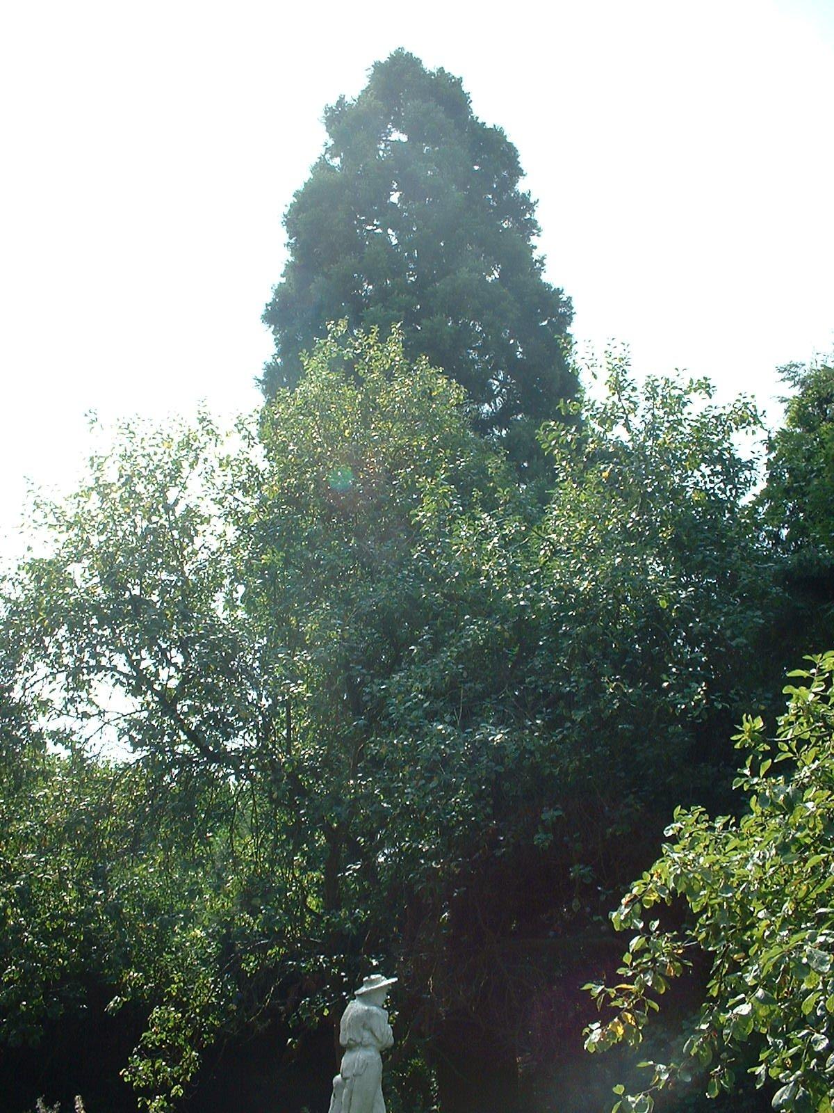 Sequoia géant – Berchem-Sainte-Agathe, Rue Kasterlinden, 69 –  21 Août 2003