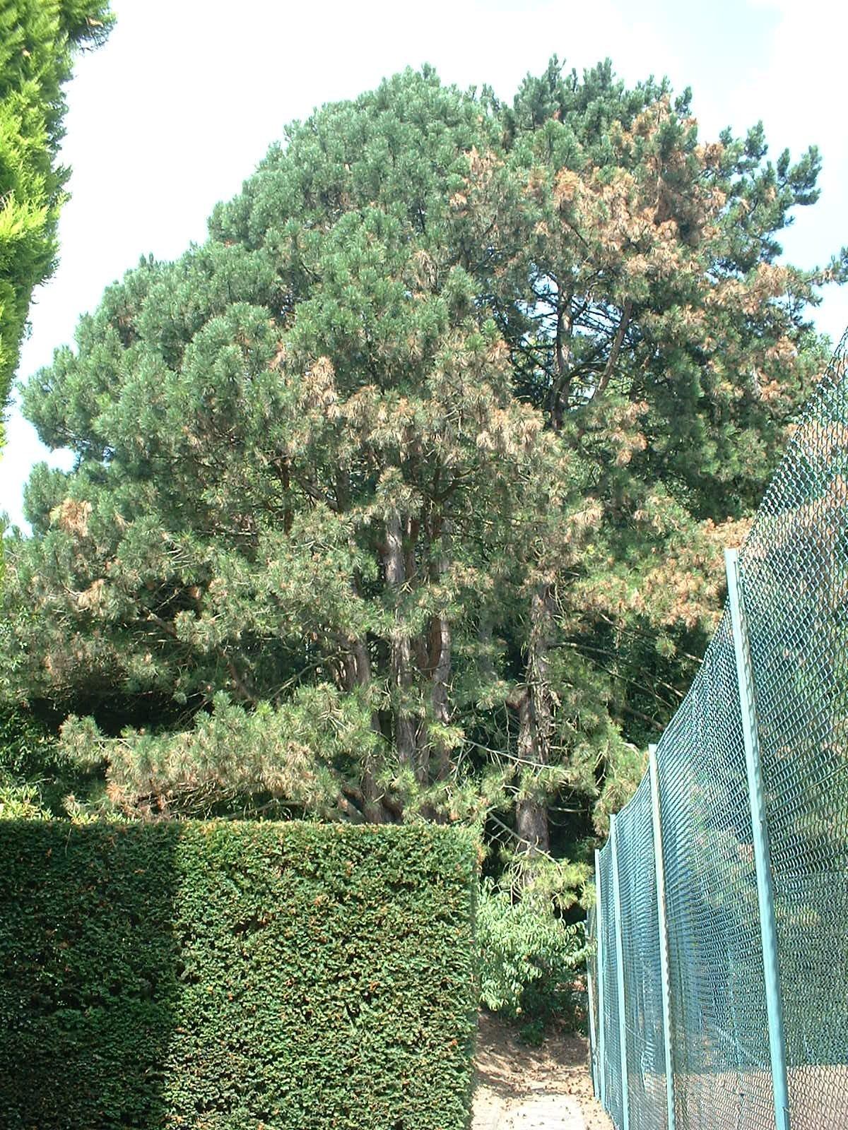 Pin noir – Berchem-Sainte-Agathe, Rue Kasterlinden, 69 –  21 Août 2003