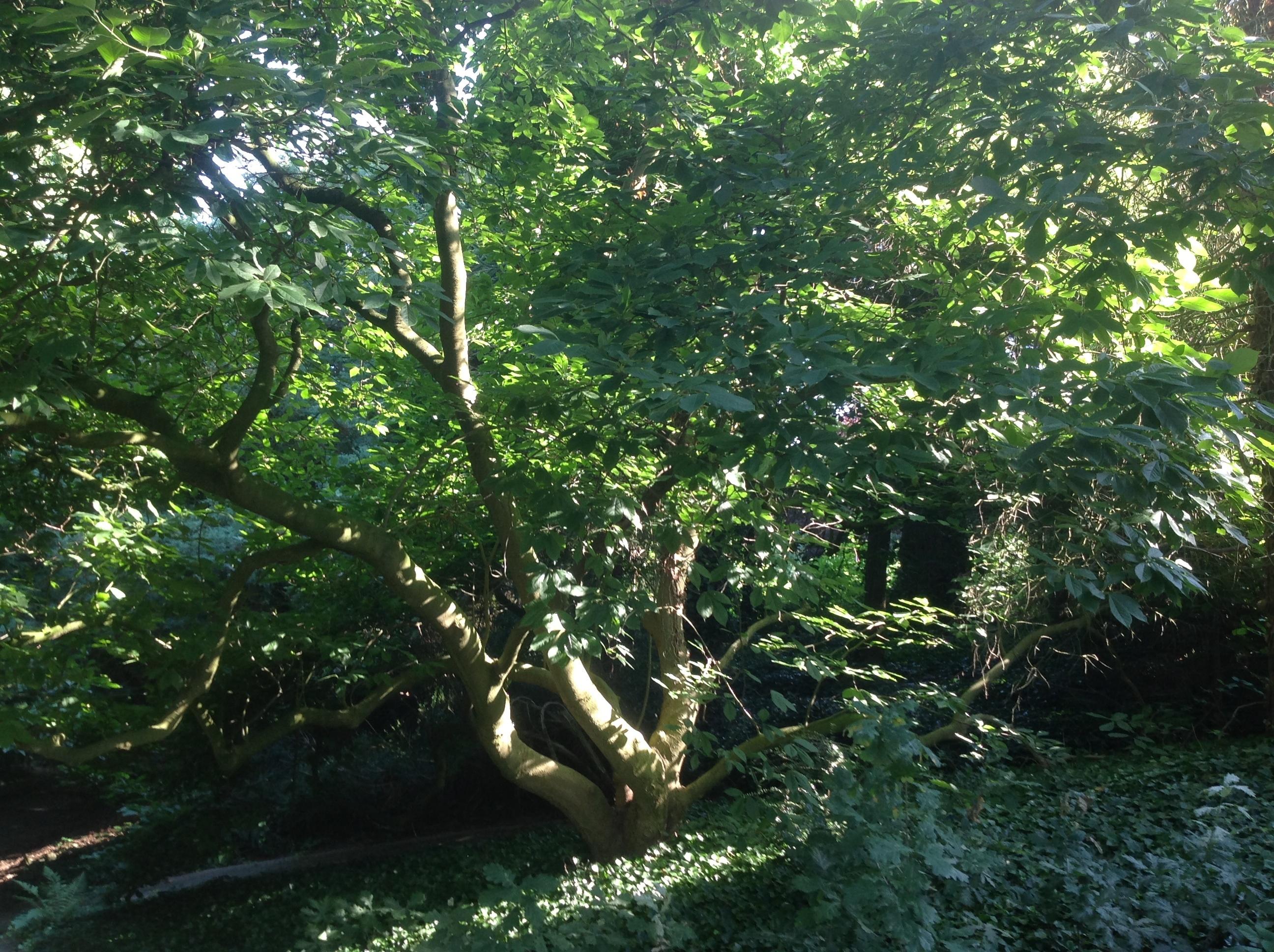 Erable palmé – Berchem-Sainte-Agathe, Rue Kasterlinden, 69 –  16 Août 2013