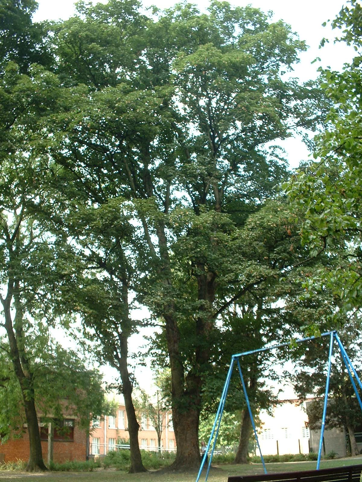 Erable sycomore – Berchem-Sainte-Agathe, Parc Saint-Moulin, Rue des Soldats, 21 –  21 Août 2003