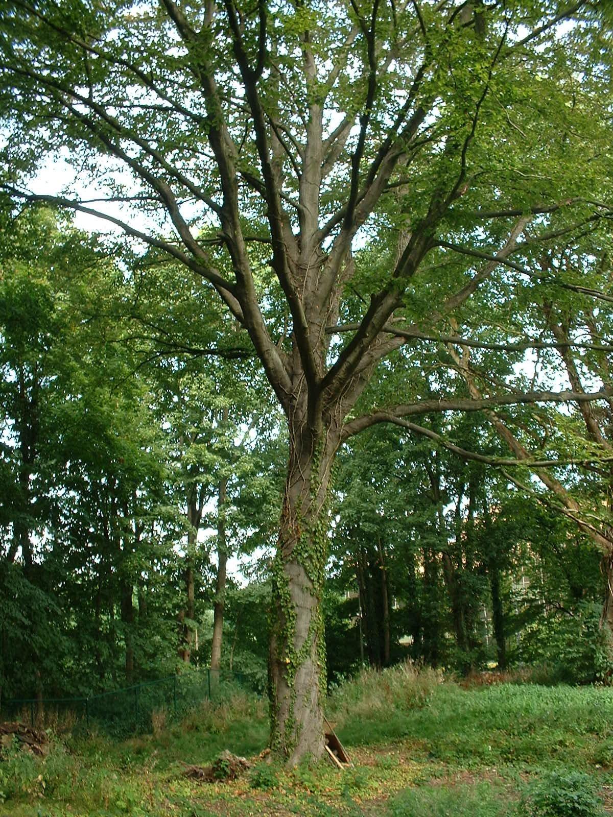 Hêtre pourpre – Watermael-Boitsfort, Drève de la Louve, 6 –  28 Août 2003