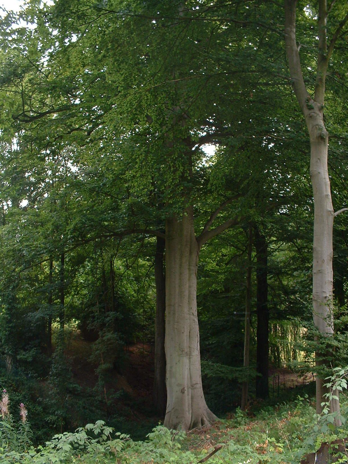 Hêtre d'Europe – Watermael-Boitsfort, Drève de la Louve, 6 –  28 Août 2003