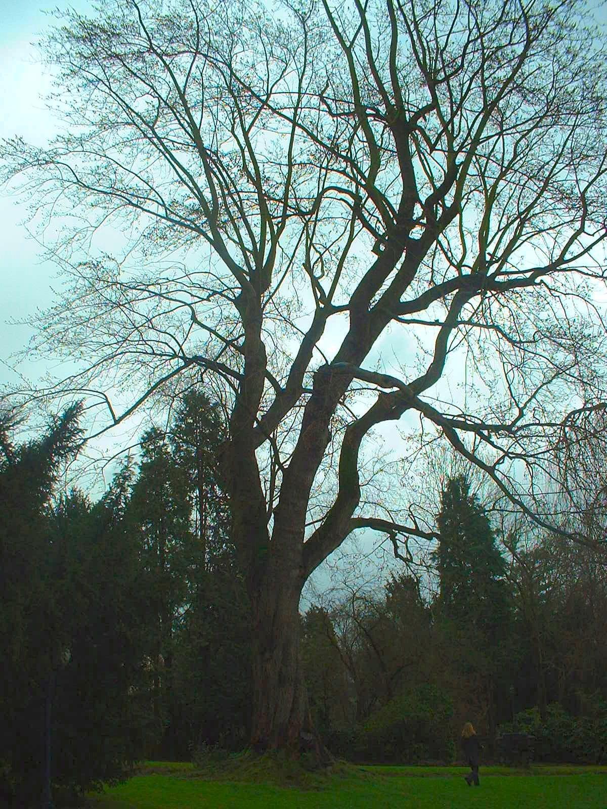 Witte esdoorn – Ukkel, Ringlaan, 70 –  09 Januari 2004