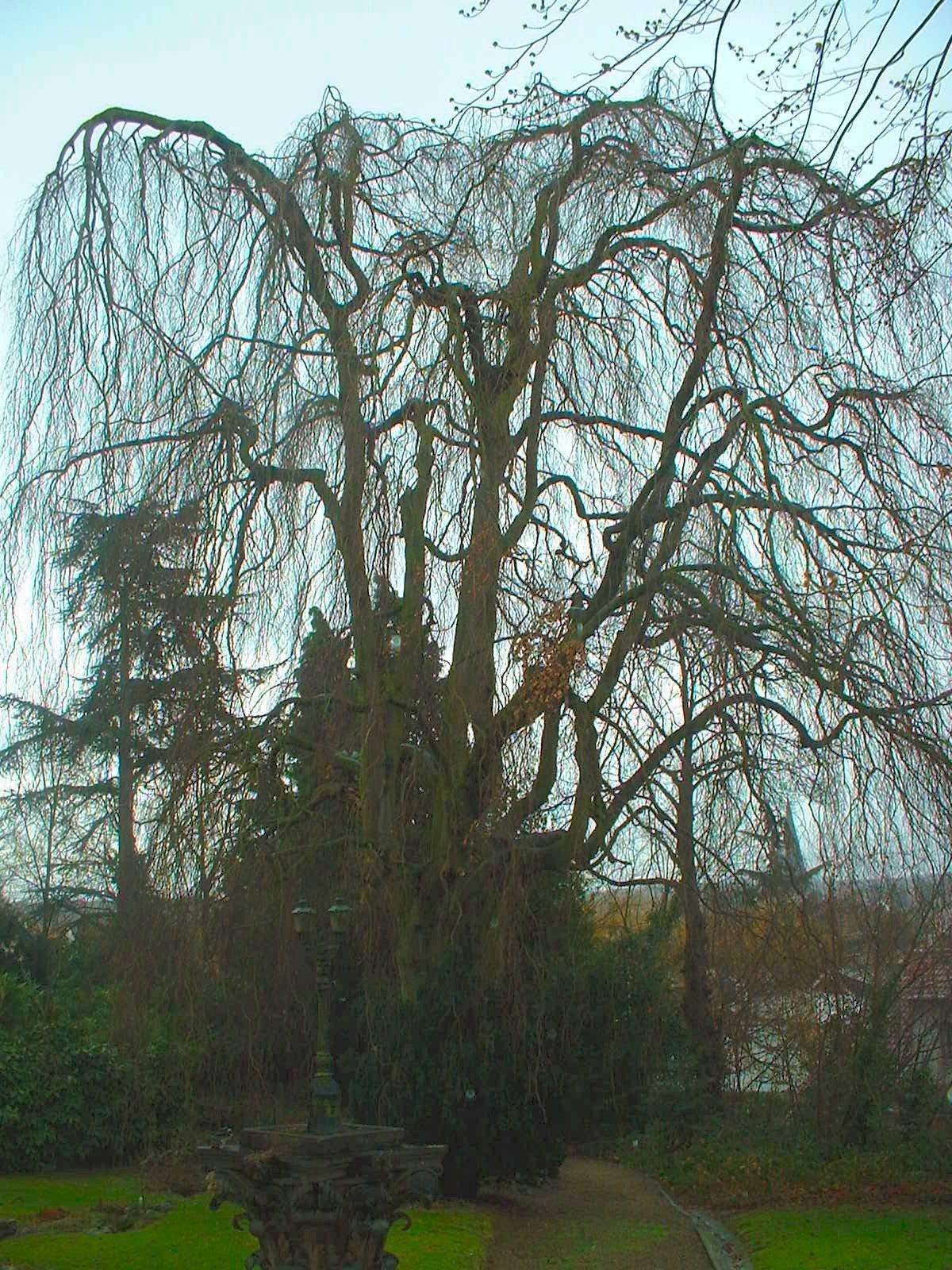 Hêtre pleureur de Borny/Hêtre drapé – Uccle, Avenue Circulaire, 70 –  09 Janvier 2004