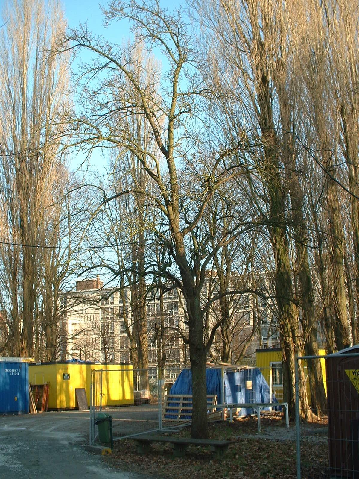 Poirier cultivé – Bruxelles, Site de l'Hôpital Brugmann , Avenue Ernest Masoin, 4 –  15 Février 2003