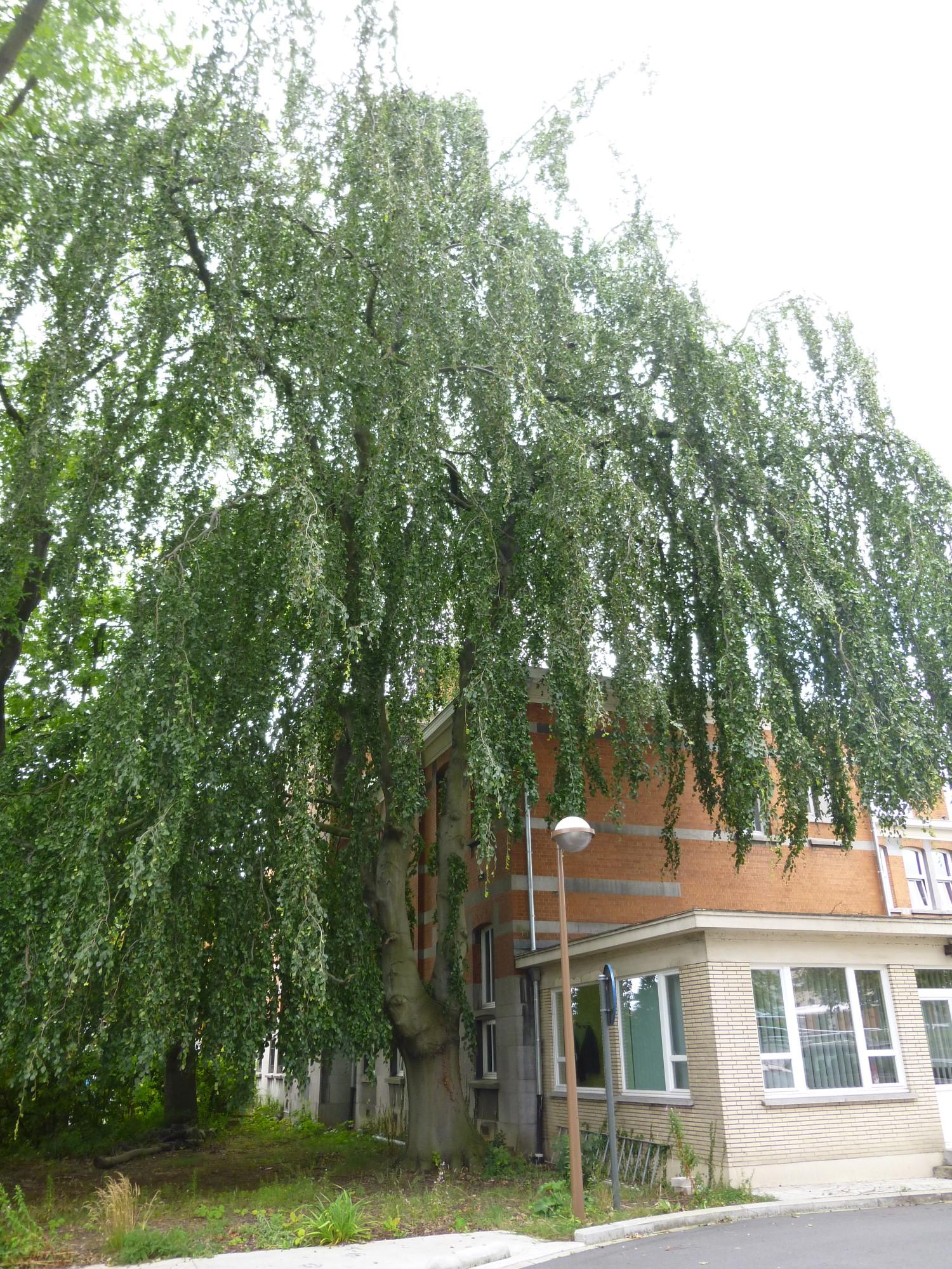 Hêtre pleureur – Bruxelles, Site de l'Hôpital Brugmann , Avenue Ernest Masoin, 4 –  14 Juillet 2014