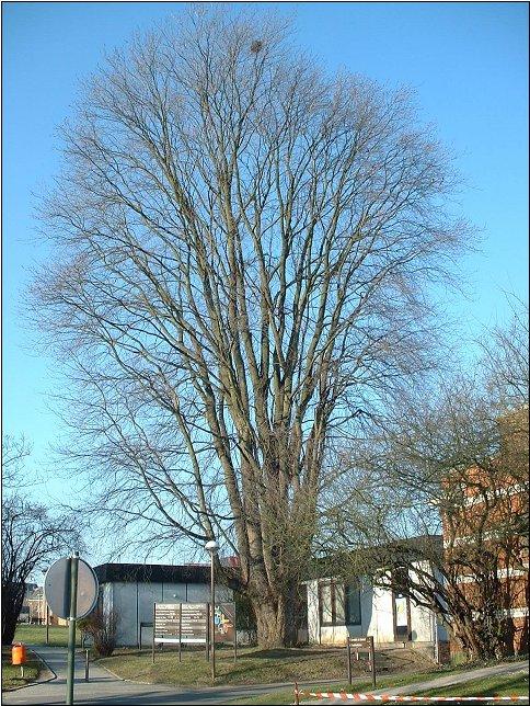 Erable argenté – Bruxelles, Site de l'Hôpital Brugmann , Avenue Ernest Masoin, 4 –  15 Février 2003