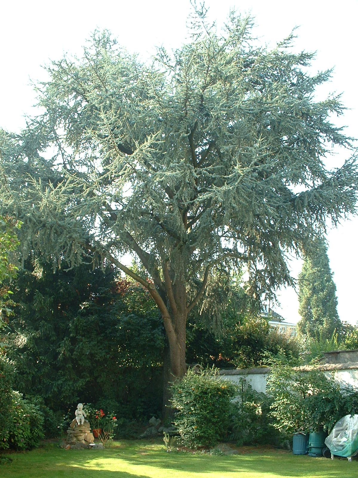 Blauwe ceder – St.- Agatha - Berchem, René Comhairelaan, 115 –  08 September 2003