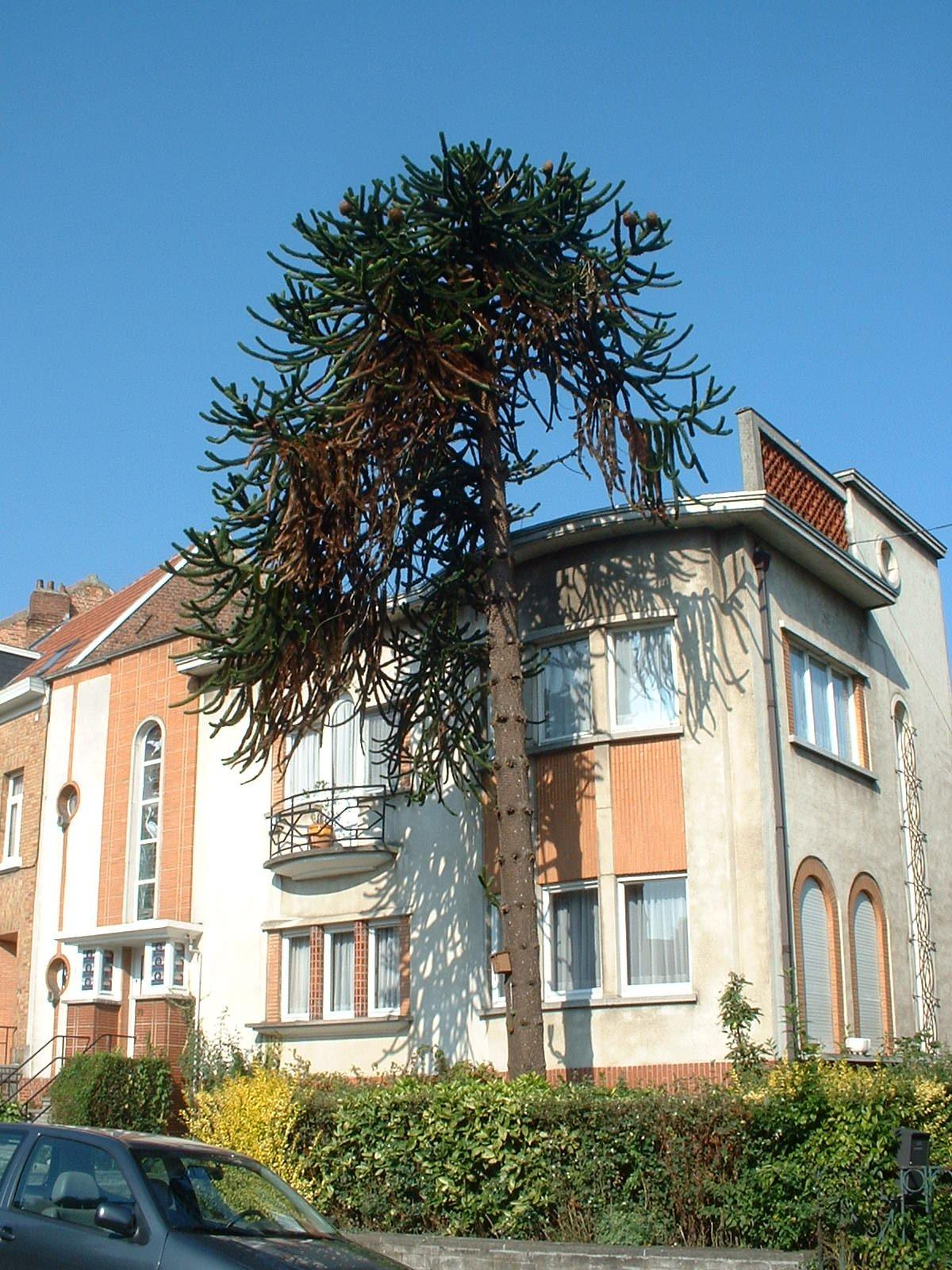Apenboom, slangenden – St.- Agatha - Berchem, René Comhairelaan, 78 –  08 September 2003
