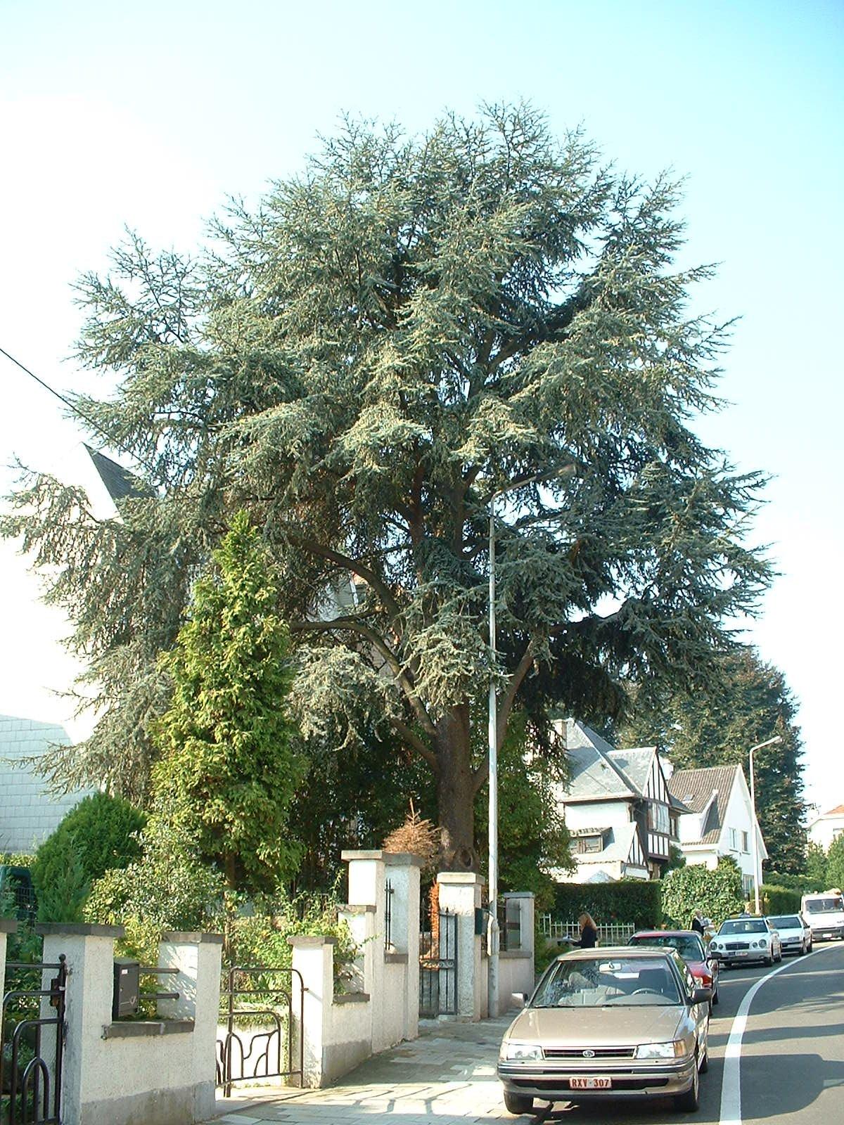Cèdre bleu de l'Atlas – Berchem-Sainte-Agathe, Avenue René Comhaire, 77 –  08 Septembre 2003
