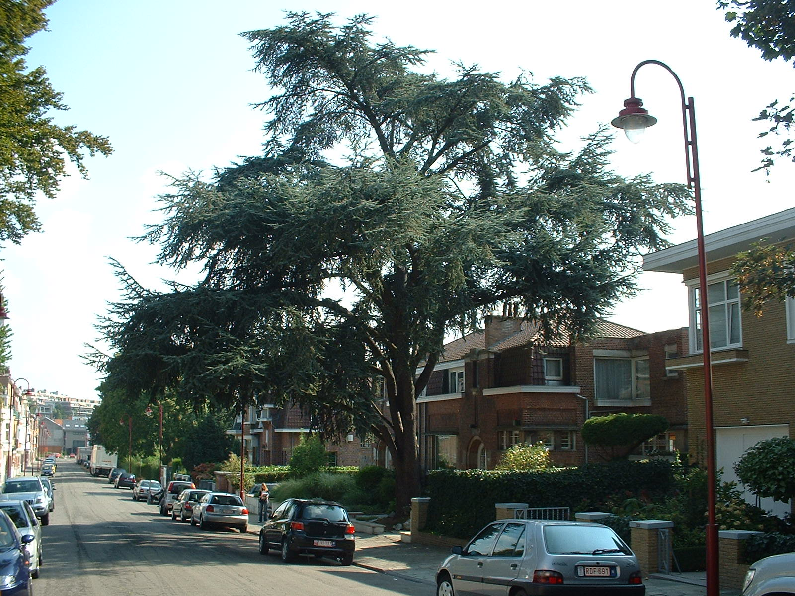 Cèdre bleu de l'Atlas – Berchem-Sainte-Agathe, Avenue Hélène, 35 –  08 Septembre 2003