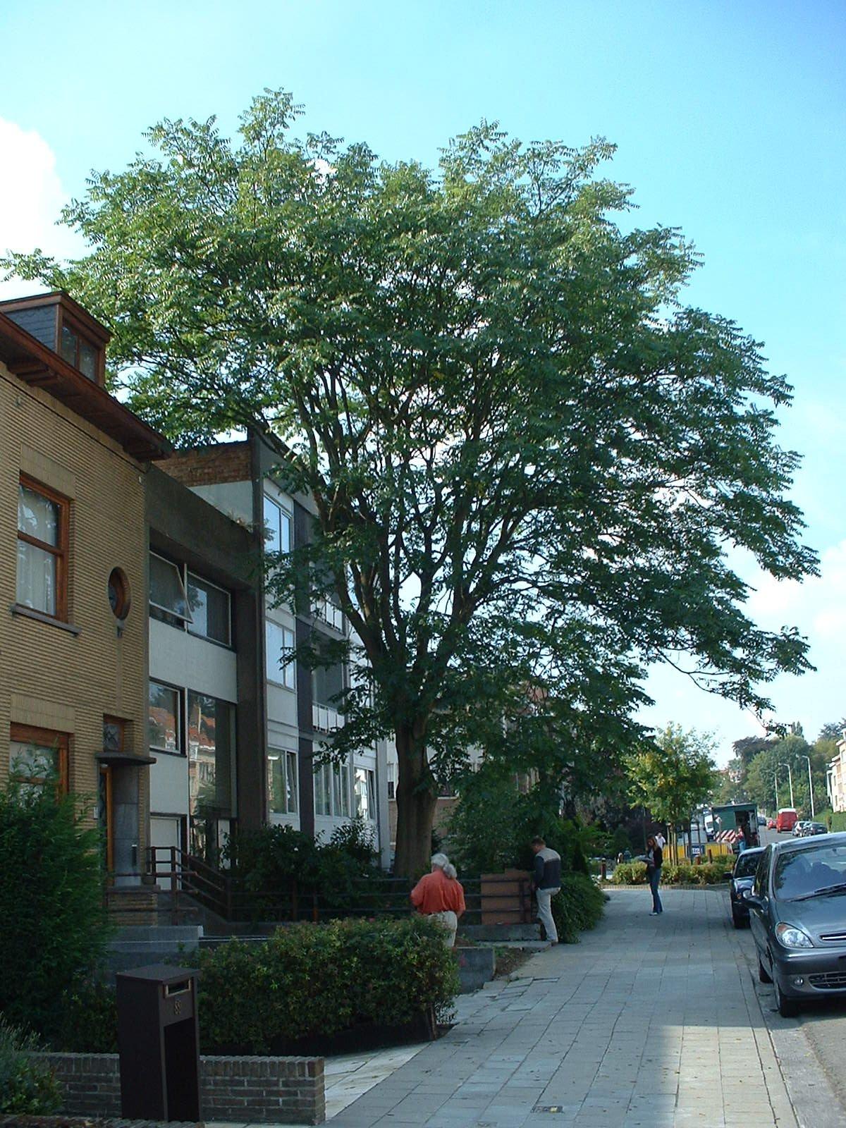 Ailante glanduleux – Berchem-Sainte-Agathe, Avenue de la Basilique, 85 –  08 Septembre 2003