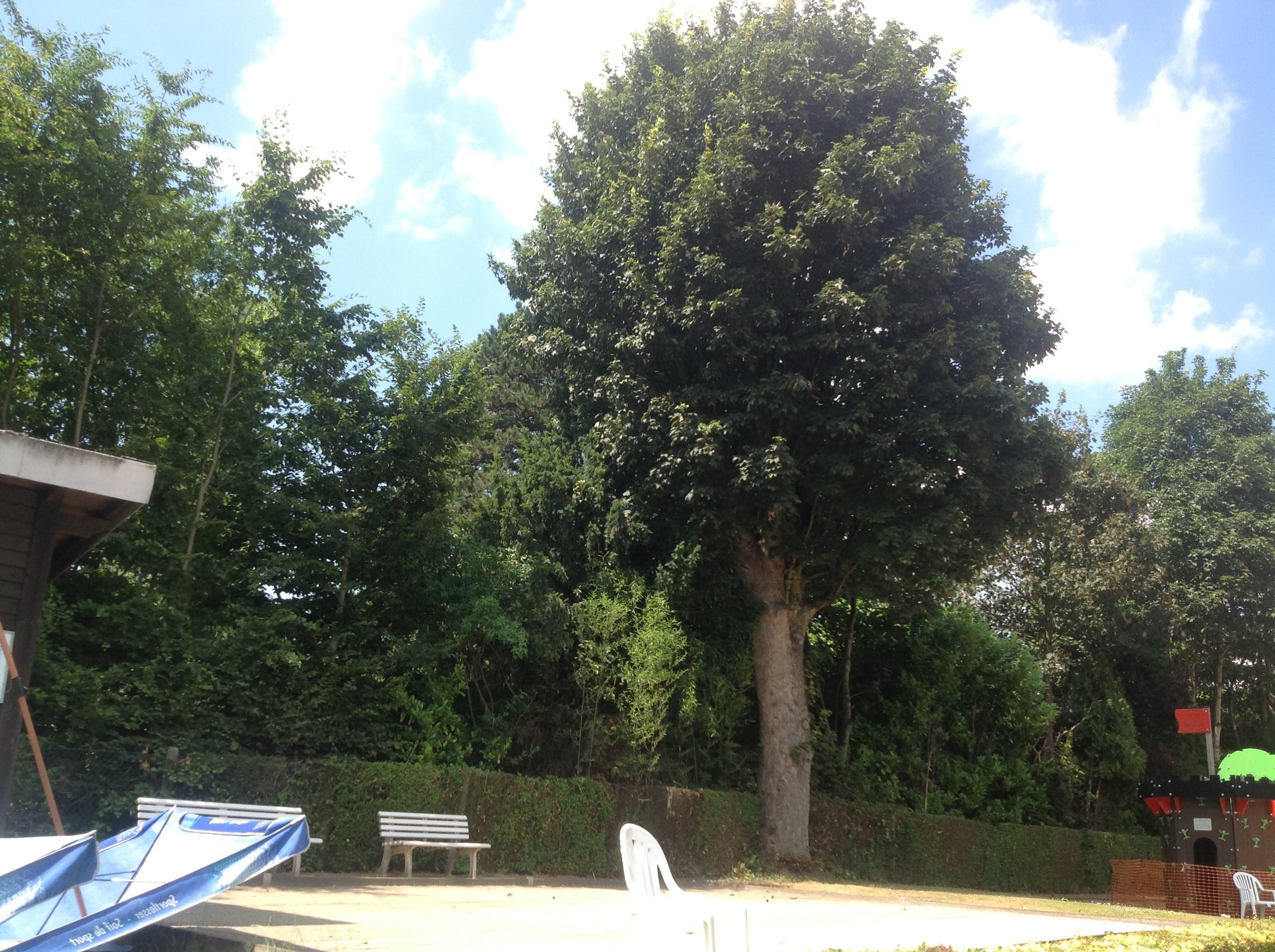 Acer pseudoplatanus 'Purpurascens' – Berchem-Sainte-Agathe, Avenue de la Basilique, 14 –  25 Juillet 2013