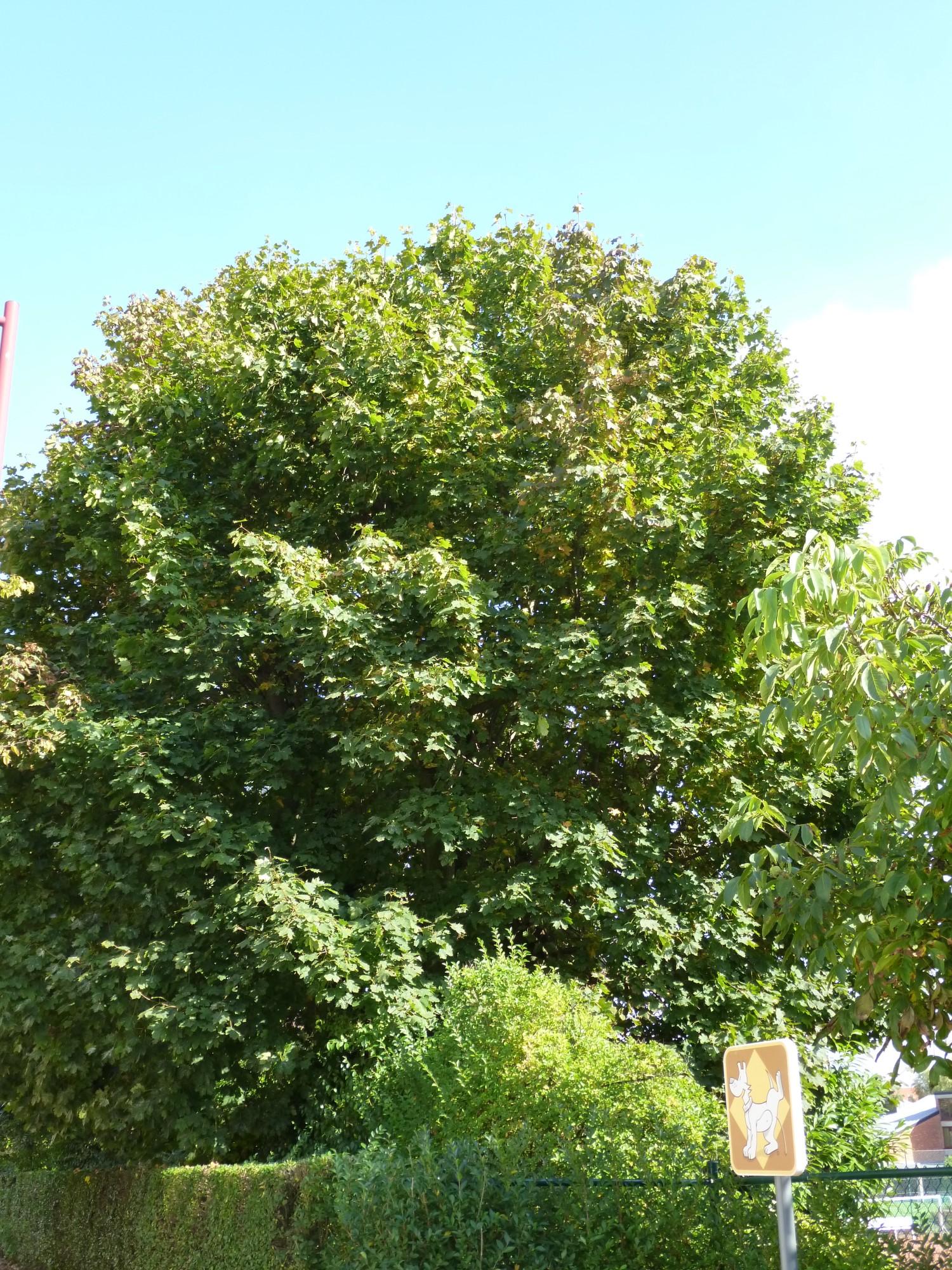 Erable plane – Berchem-Sainte-Agathe, Avenue de la Basilique, 14 –  07 Octobre 2013
