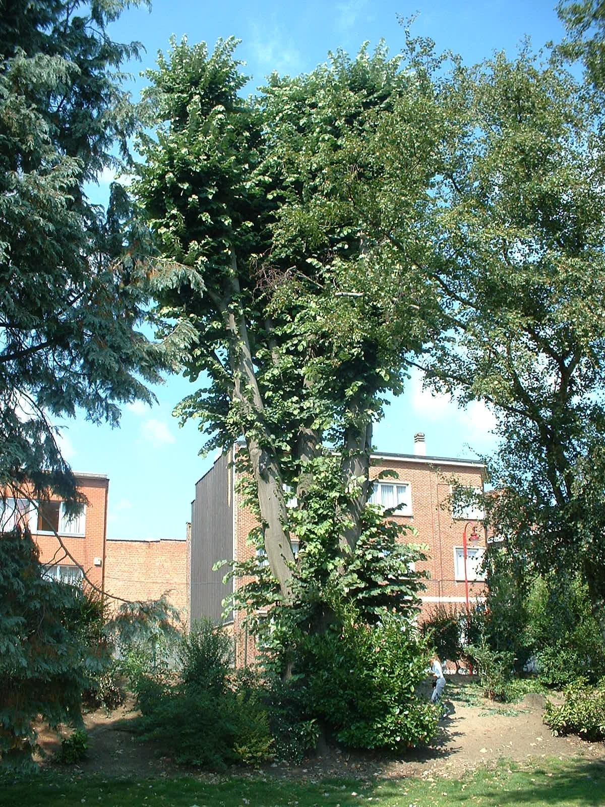 Tilleul argenté – Berchem-Sainte-Agathe, Avenue de la Basilique, 14 –  08 Septembre 2003