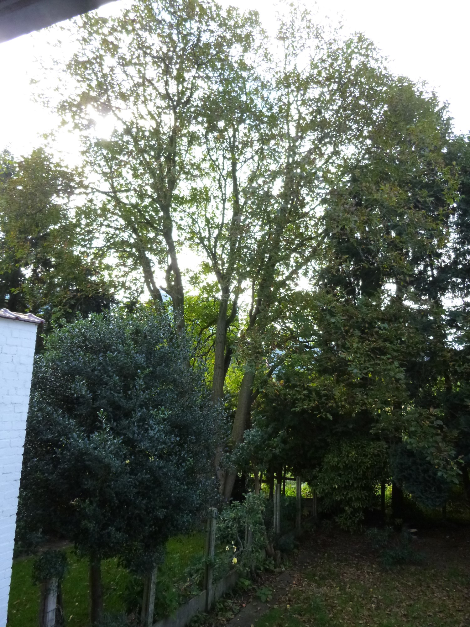 Noyer royal – Berchem-Sainte-Agathe, Avenue du Haut-Champ, 50 –  04 Octobre 2013
