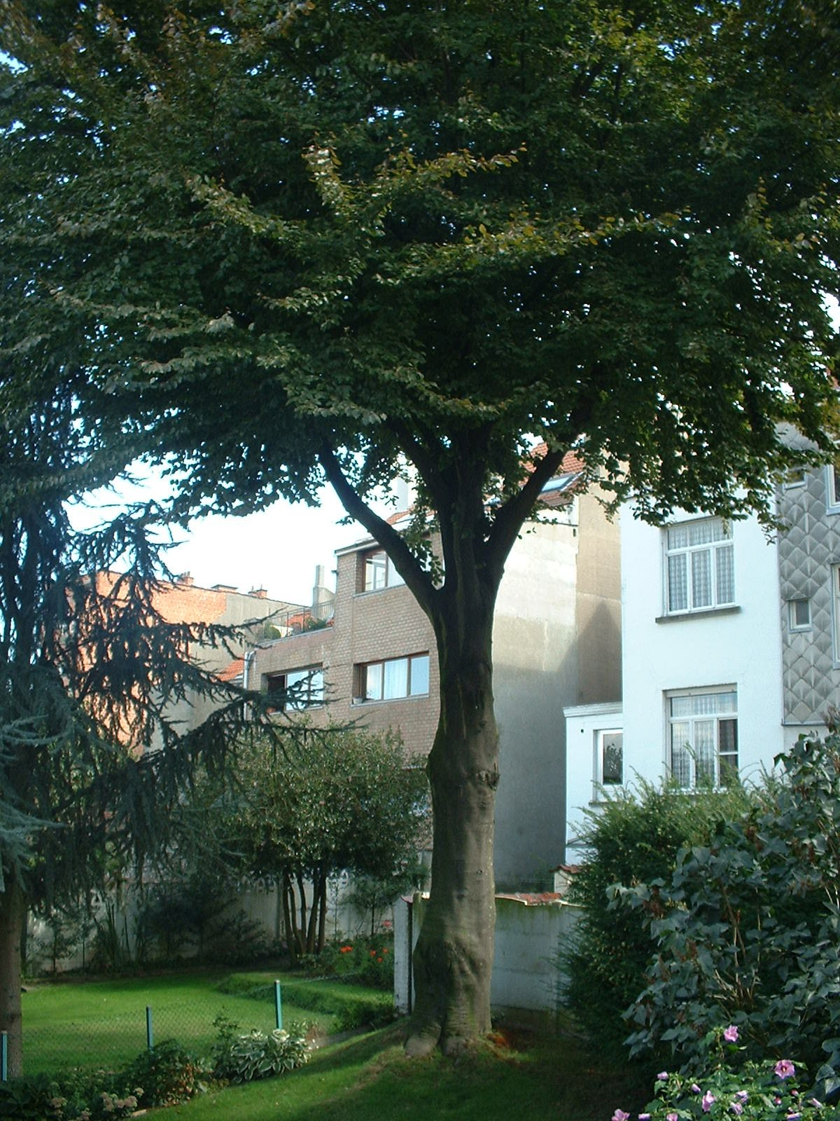 Hêtre pourpre – Ganshoren, Avenue Van Overbeke, 34 –  11 Septembre 2003