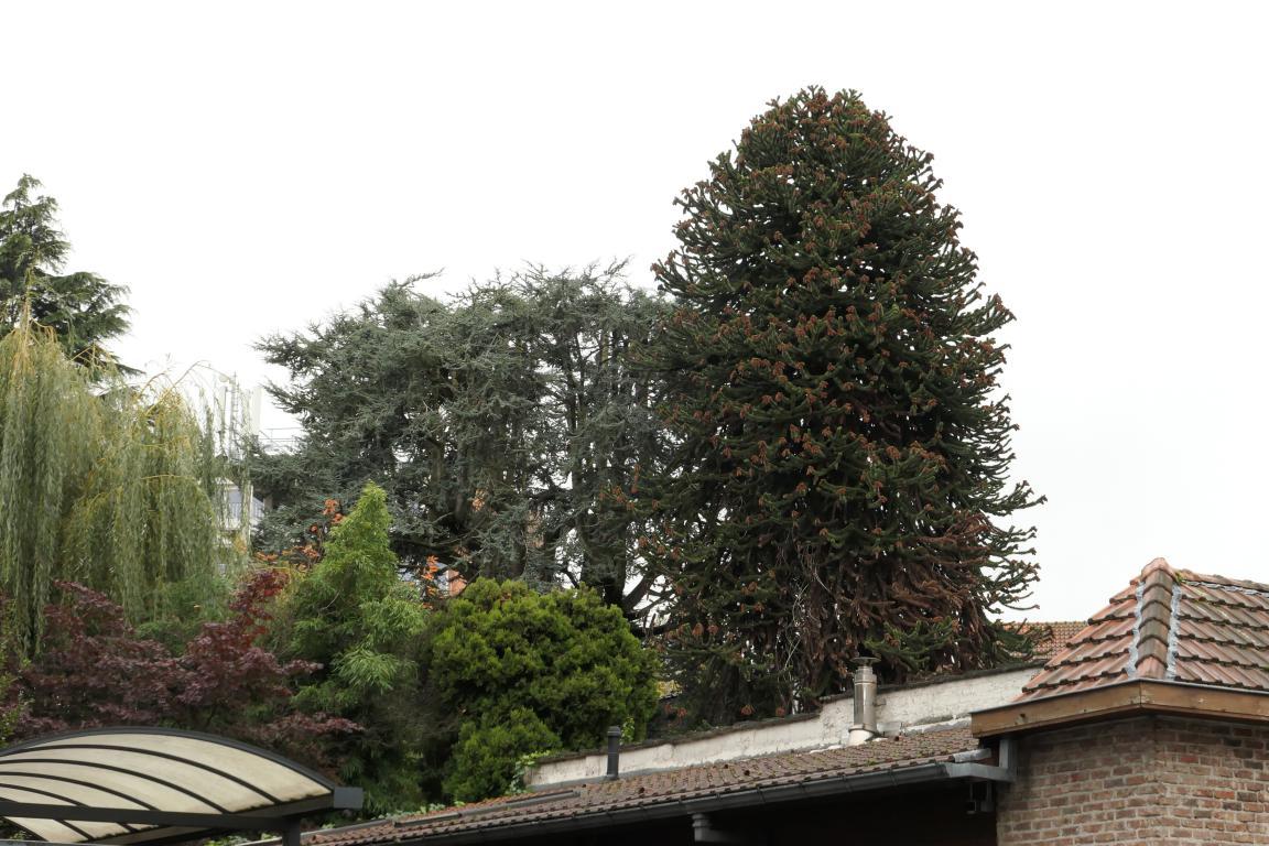Araucaria du Chili – Ganshoren, Rue Georges Simpson, 44 –  04 Novembre 2019