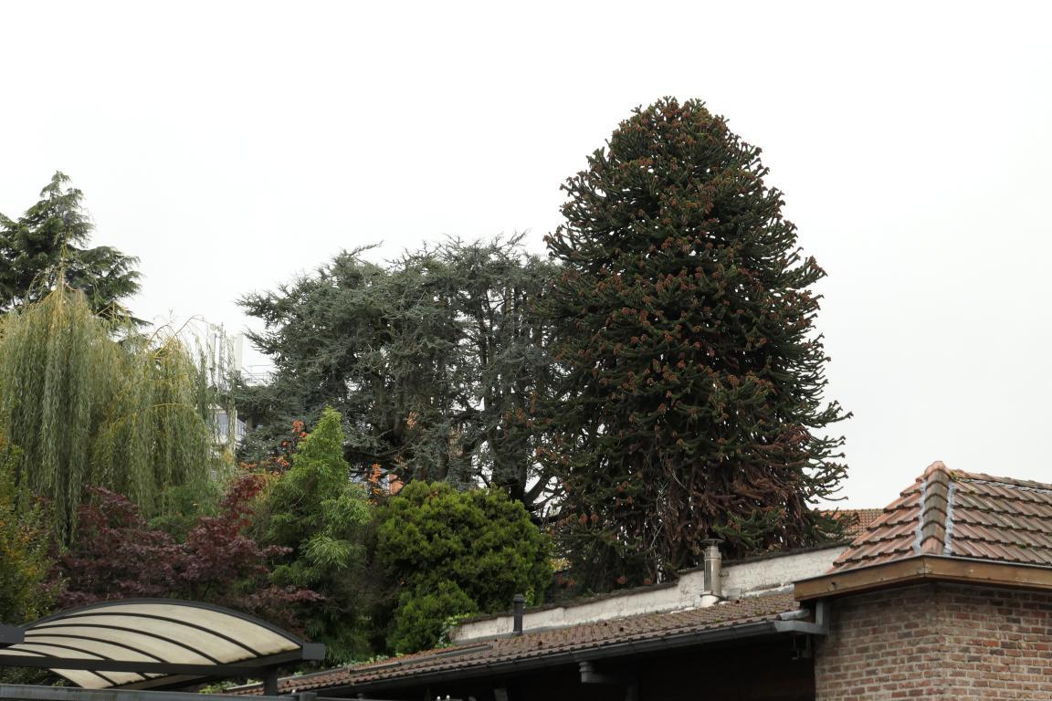 Cèdre bleu de l'Atlas – Ganshoren, Rue Georges Simpson, 44 –  04 Novembre 2019