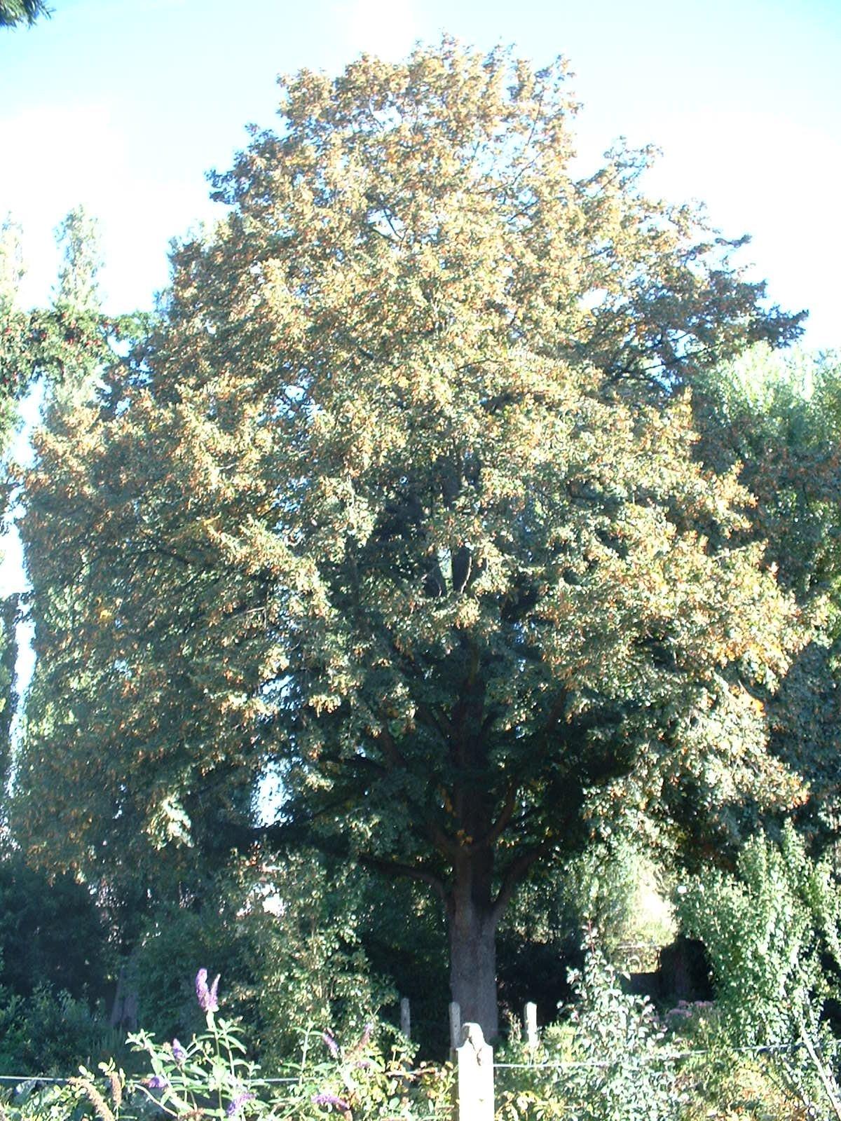 Tilleul à petites feuilles – Molenbeek-Saint-Jean, Rue Joseph Schols, 62 –  15 Septembre 2003