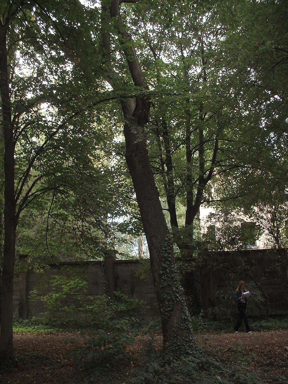 Févier sans épines – Jette, Parc du Sacré-Cœur de Jette, Avenue du Sacré-Coeur, 8 –  22 Septembre 2003