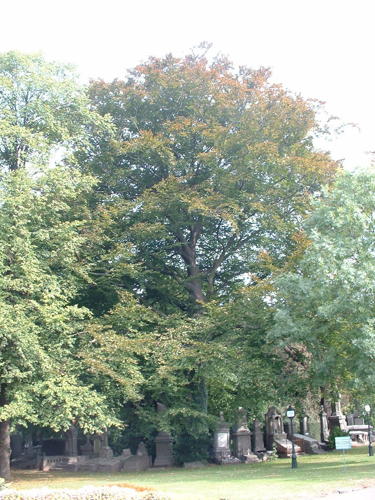 Hêtre pourpre – Evere, Cimetière de Bruxelles, cimetière –  26 Septembre 2003