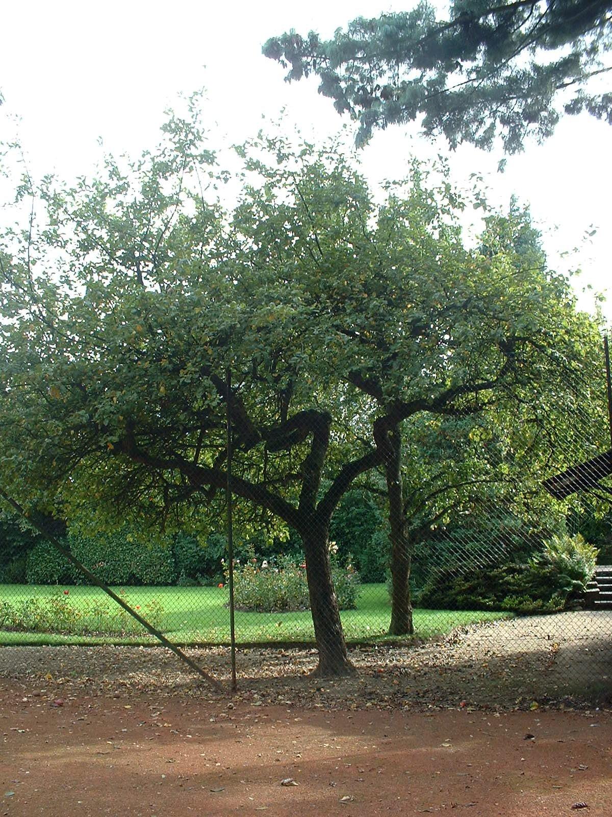 Pommier sauvage – Berchem-Sainte-Agathe, Chaussée de Gand, 1109 –  30 Septembre 2003