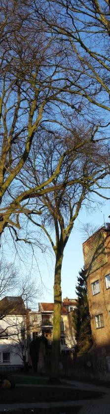 Frêne commun – Forest, Parc Marconi, parc –  08 Janvier 2016
