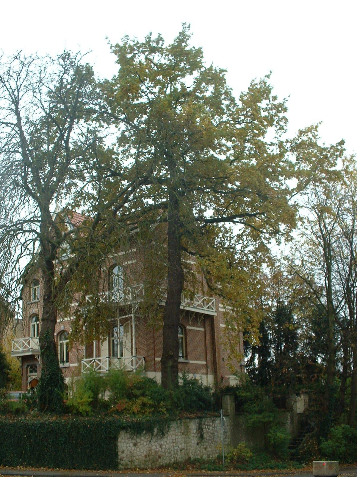 Chêne pédonculé – Watermael-Boitsfort, Avenue Emile Van Becelaere, 96 –  04 Novembre 2003