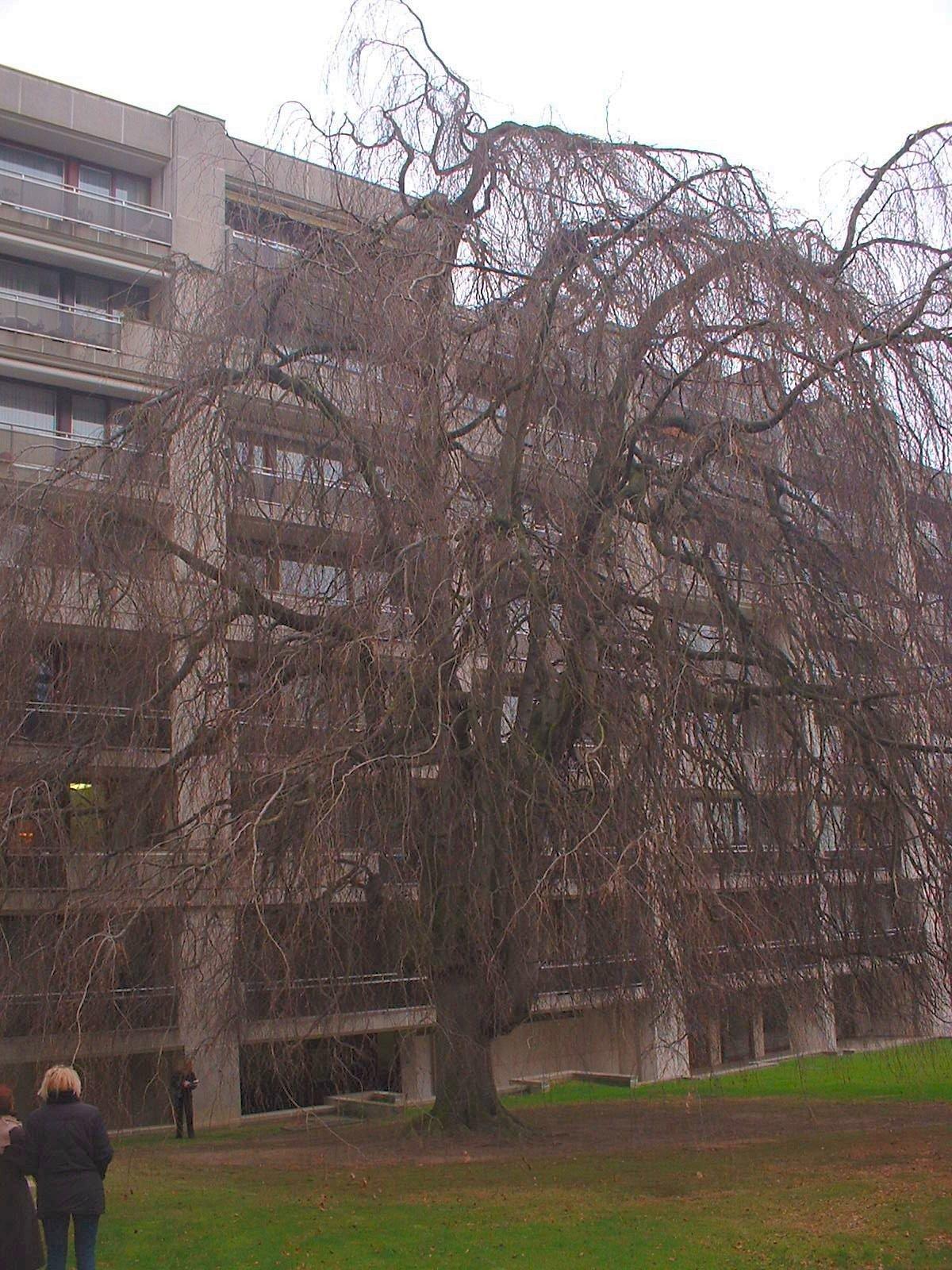 Hêtre pleureur – Uccle, Rue Joseph Bens, 43-45 –  11 Décembre 2003