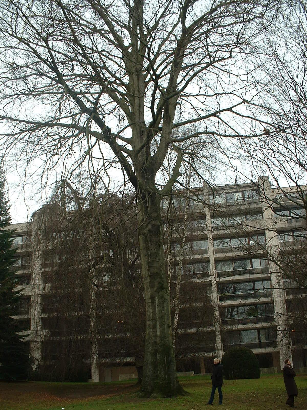 Hêtre pourpre – Uccle, Rue Joseph Bens, 43-45 –  11 Décembre 2003