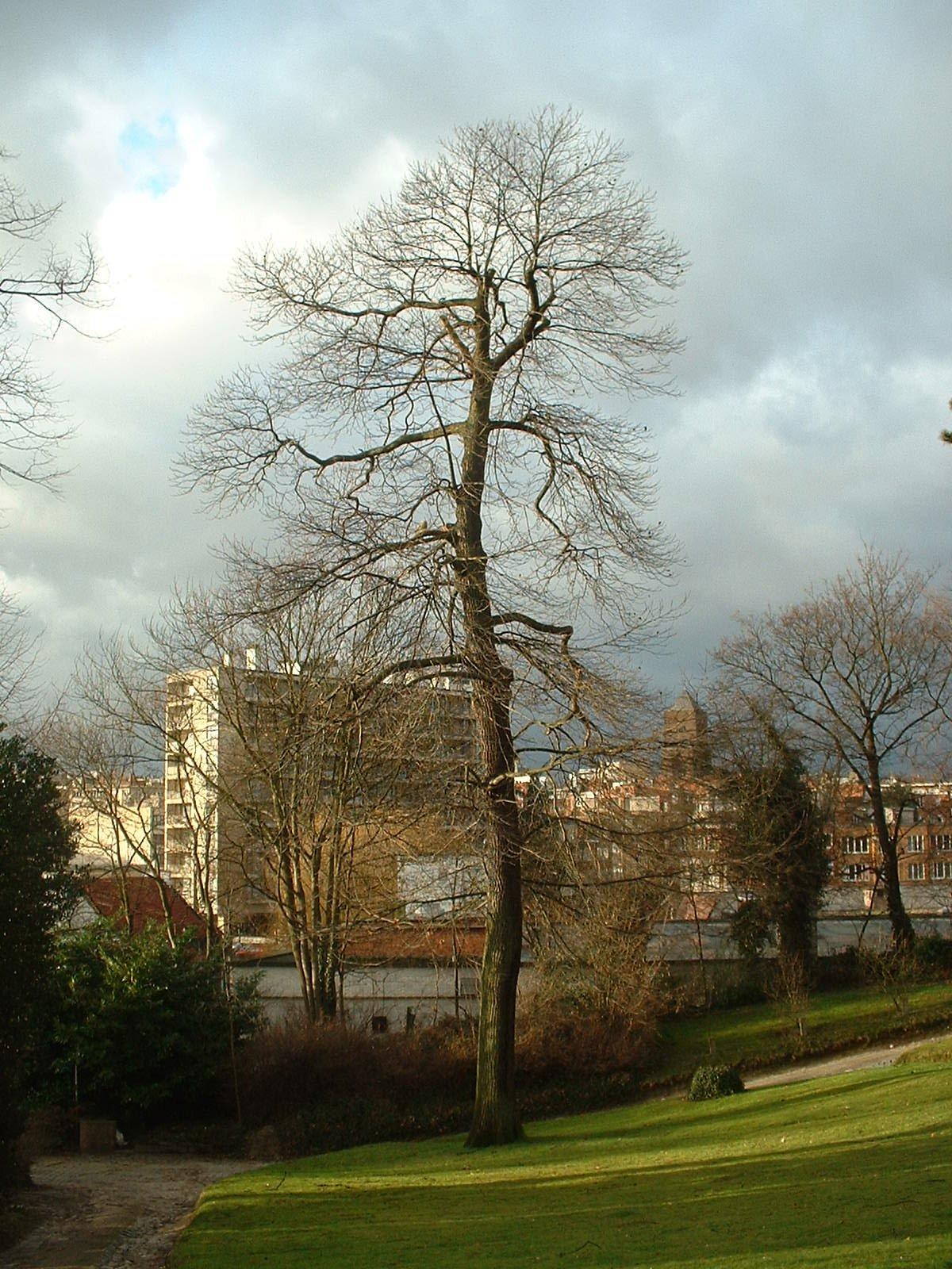 Châtaignier – Ixelles, Chaussée de Boitsfort, 26-28 –  16 Janvier 2004