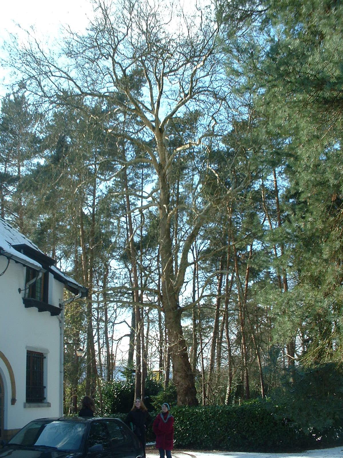 Platane à feuille d'érable – Uccle, Avenue du Prince d'Orange, 32 –  27 Février 2004