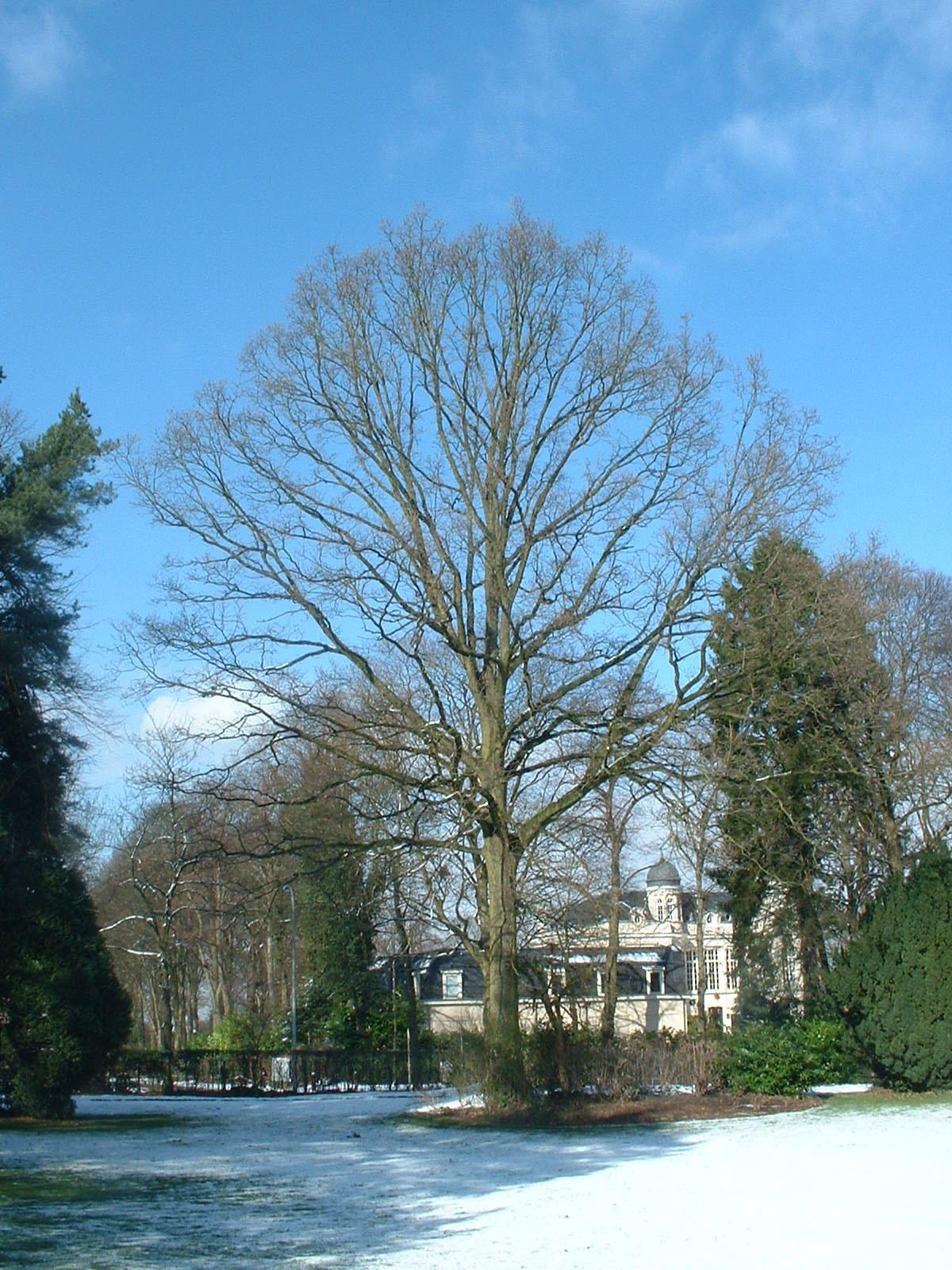 Chêne pédonculé – Uccle, Avenue du Prince d'Orange, 32 –  27 Février 2004