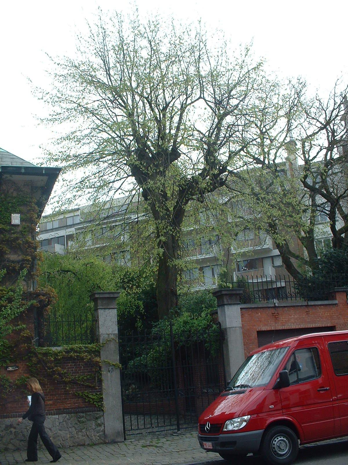 Tilleul argenté – Uccle, Rue Marianne, 40 –  22 Avril 2004
